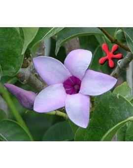 Cryptostegia grandiflora 'Blue Alamanda' 'Malay Rubber'