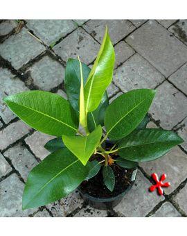 Ficus macrophylla 'Moreton Bay Fig'