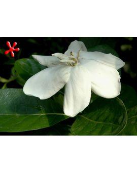 Gardenia taitensis 'Heaven Scent'