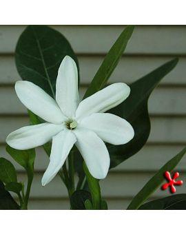 Gardenia taitensis 'Tahitian Gardenia'