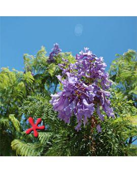 Jacaranda mimosifolia 'Blue Jacaranda'