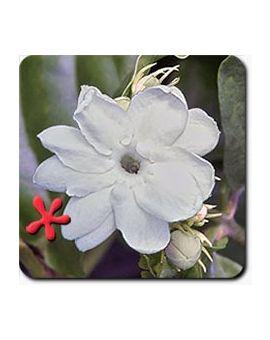 Jasminum sambac 'Maid of Orleans'