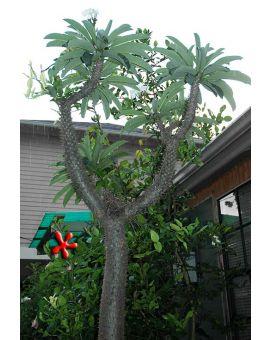 Pachypodium lamerei 'Madagascar Palm'