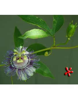 Passiflora incarnata 'Maypop'