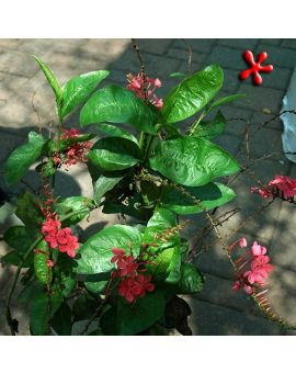 Plumbago indica 'Scarlet Leadwort'