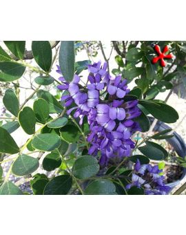 Sophora secundiflora 'Texas Mountain Laurel'
