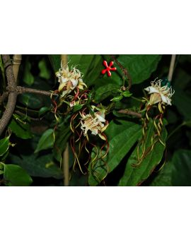 Strophanthus petersianus 'Sand Forest Poison Rope'