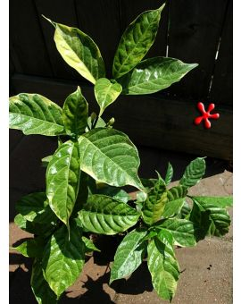 Tabernaemontana divaricata Variegated 'Carnation of India'