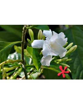 Tabernaemontana divaricata 'Carnation of India'