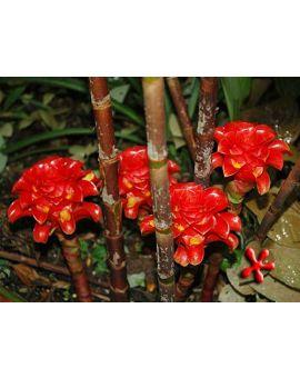 Tapeinochilos ananassae 'Indonesian Wax Ginger'