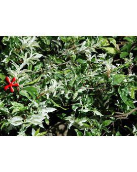 Wrightia religiosa 'Variegata' 'Variegated Water Jasmine'