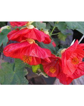 Abutilon Bella 'Red'