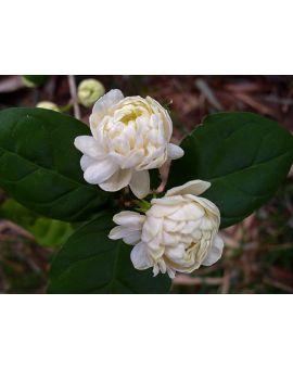 Jasminum sambac 'Jasmine Grand Duke'