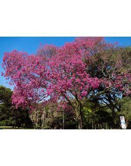 Tabebuia impetiginosa 'Purple Trumpet Tree'