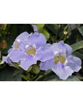 Thunbergia grandilflora 'Blue Sky Vine'