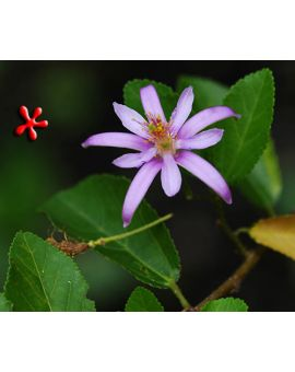 Grewia occidentalis 'Lavender Star Flower'