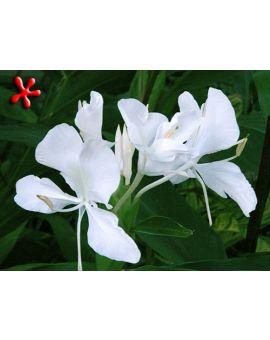 Hedychium coronarium 'White Butterfly Ginger'