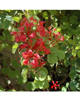 Bauhinia galpinii 'Red Orchid Bush'
