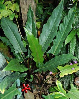 Alocasia lauterbaachiana