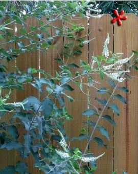 Aloysia virgata 'Sweet Almond Bush'