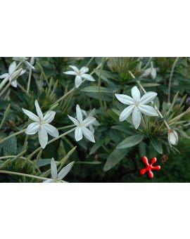 Augusta rivalis (Syn. Lindenia rivalis) 'Needle Flower'