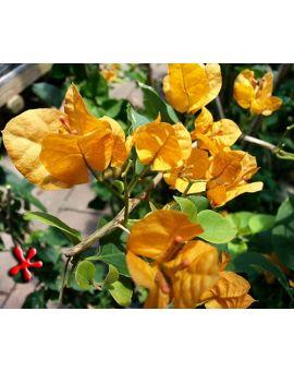 Bougainvillea 'California Gold'