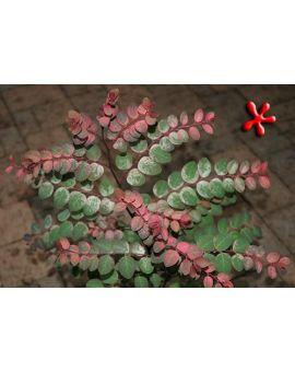 Breynia disticha 'Roseopicta'
