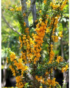Flowering branches of Brya Ebenus - Jamaican Rain tree