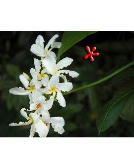 Chonemorpha fragrans 'Frangipani Vine'