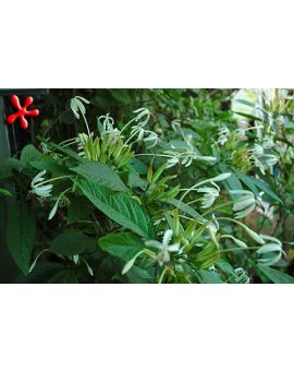 Clerodendrum minahasse