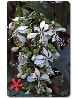 Clerodendrum wallichii 'Bridal Veil'