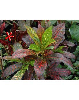 Croton - Codiaeum 'Mora'