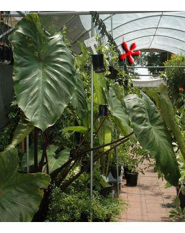 Colocasia esculenta 'Fontanesii'