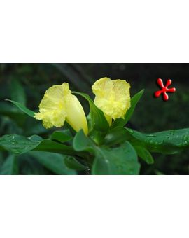 Costus 'Mellow Yellow'