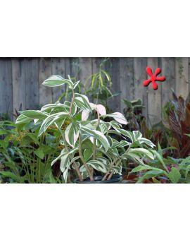 Costus amazonicus variegata