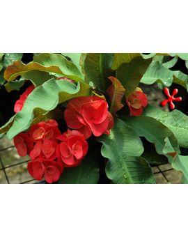 Euphorbia x lomi 'Cherry Red'