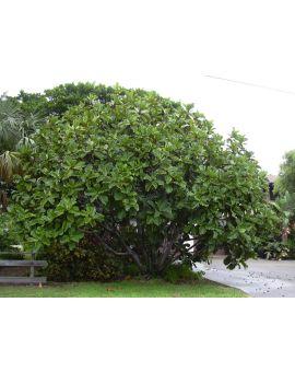 Ficus lyrata 'Fiddle-Leaf Fig'