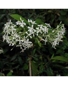 Fragrant ixora odorata flower