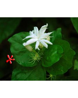 Jasminum sambac 'Belle of India'