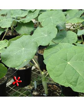 Jatropha podagrica 'Buddha Belly Plant'