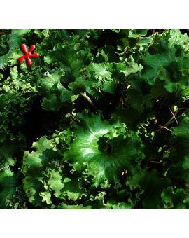 Farfugium japonicum 'Shishi Botan' 'Parsley Leopard Plant'