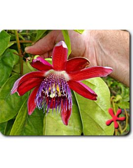 Passiflora phoenicea 'alata Ruby Glow'