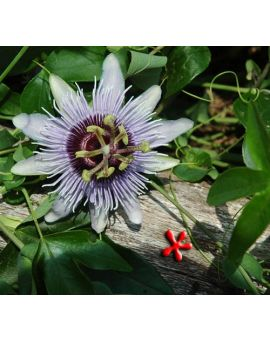 Passiflora 'Blue Bouquet'