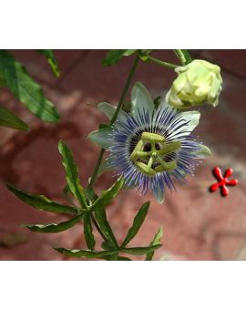 Passiflora caerulea