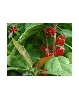 Pavonia strictiflora