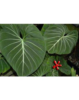 Philodendron gloriosum