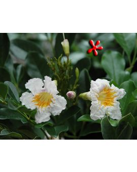 Radermachera kunming 'Dwarf Tree Jasmine'
