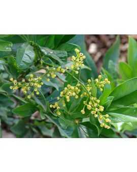 Aglaia odorata 'Chinese Perfume Plant'