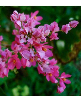 Antigonon leptopus 'Pink Coral Vine'