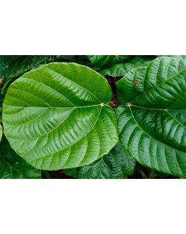 Ficus auriculata syn. roxburghii